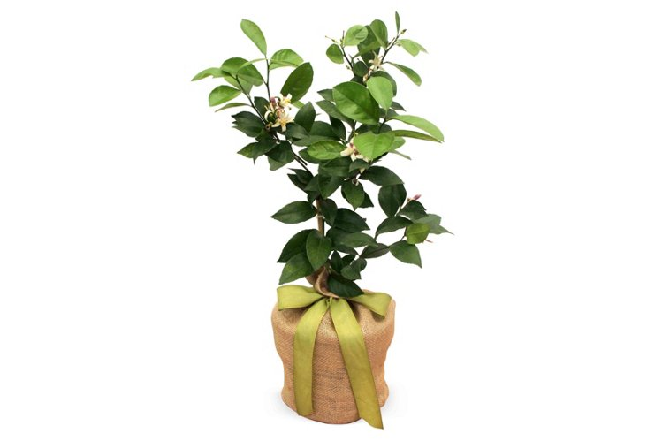 Currently Coveting: Lemon Tree