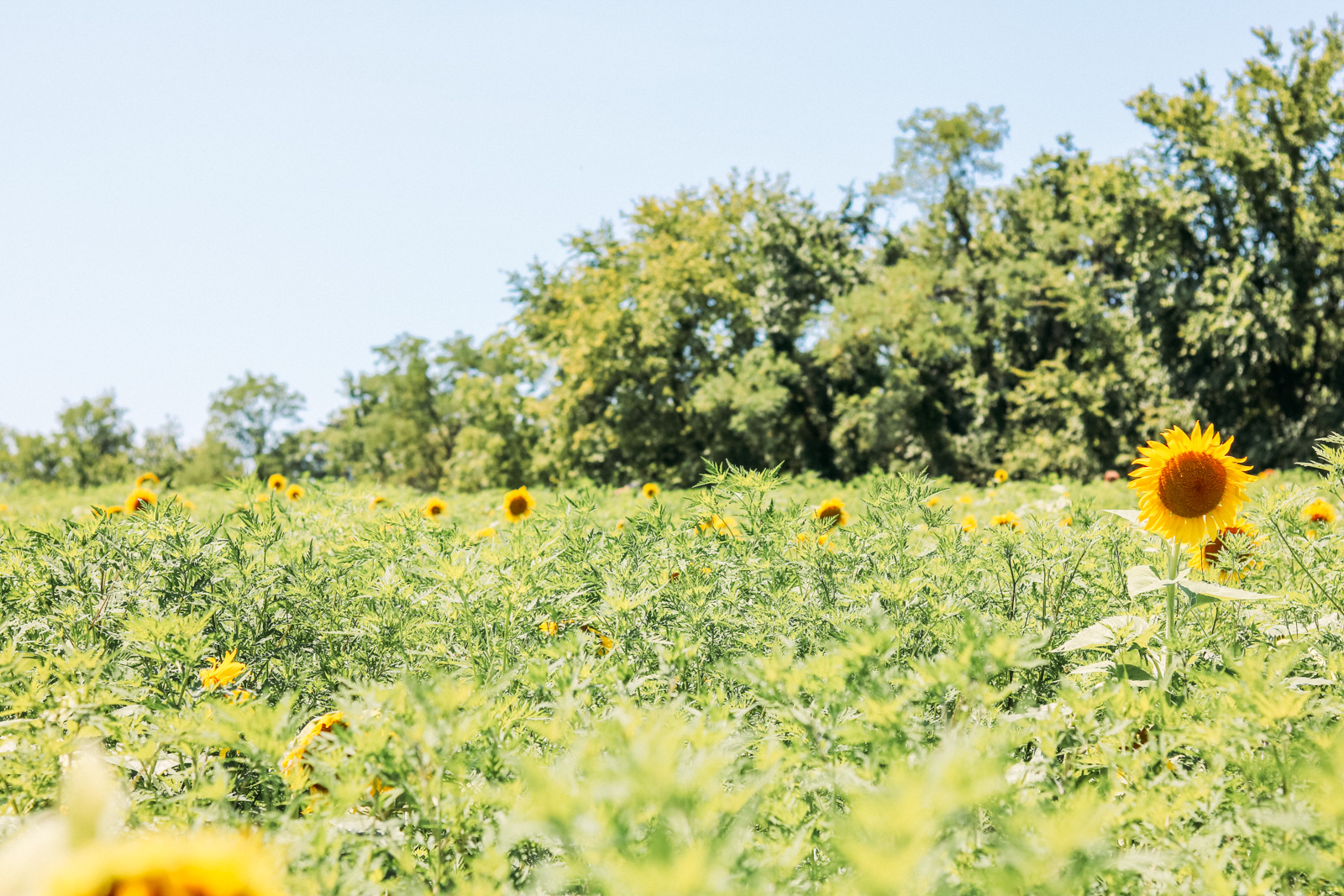Vineyard and sunflower field exploring for the perfect girls day out and brunch alternative